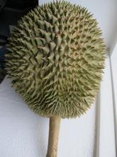 Durian i vindueskarm