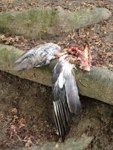 Spist fugl i skoven - kun vinger tilbage