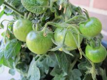 Umodne tomater på tomatplante